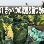 3/31 きゃべつの収穫&箱づめ体験