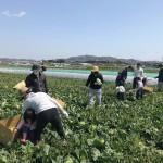 3/31 きゃべつの収穫体験実施しました!「生野菜を普段食べない子がバリバリ食べてる!」という驚きも。
