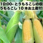 7/26 トウモロコシの収穫体験しませんか?